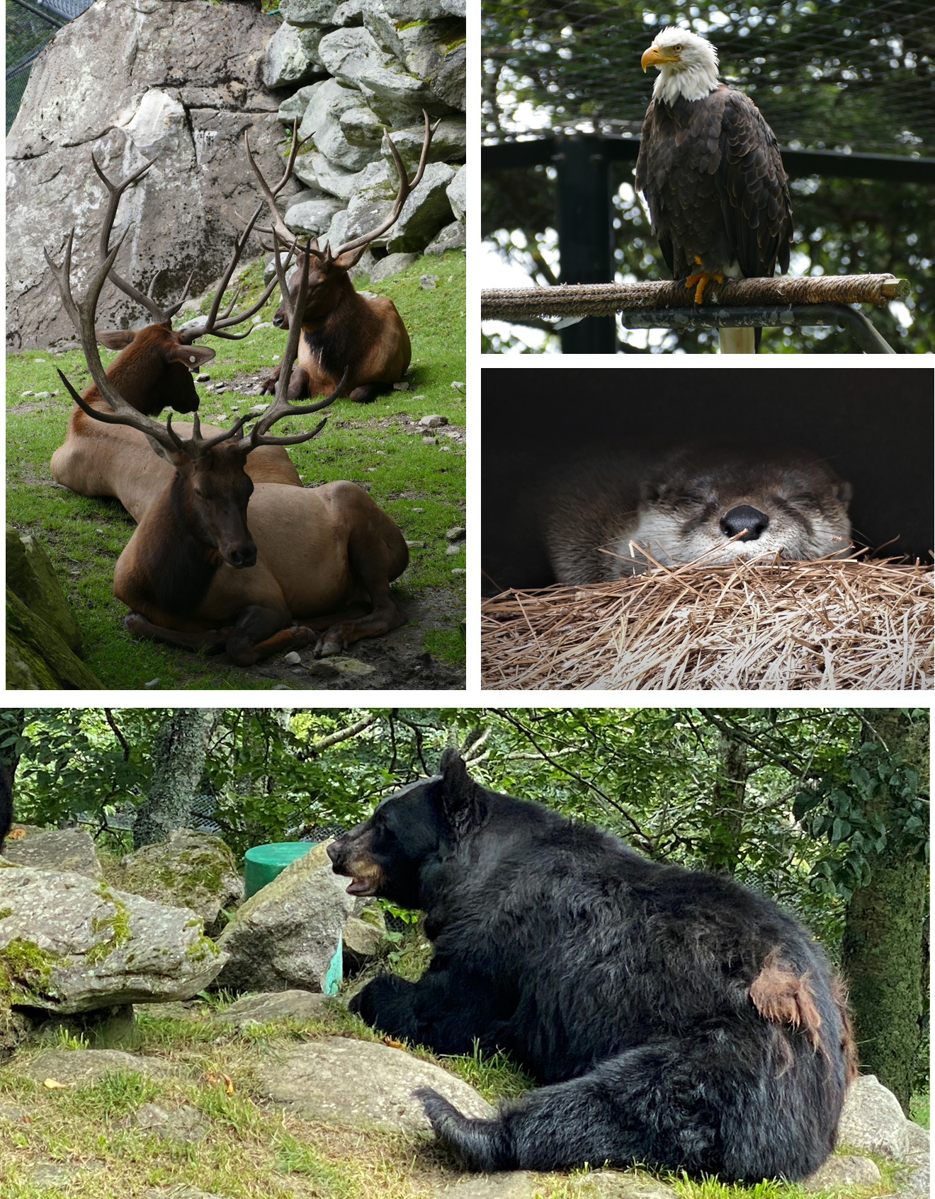 4 pictures - 3 seated elk, blad eagle on perch, face of sleeping otter, side view of resting black bear