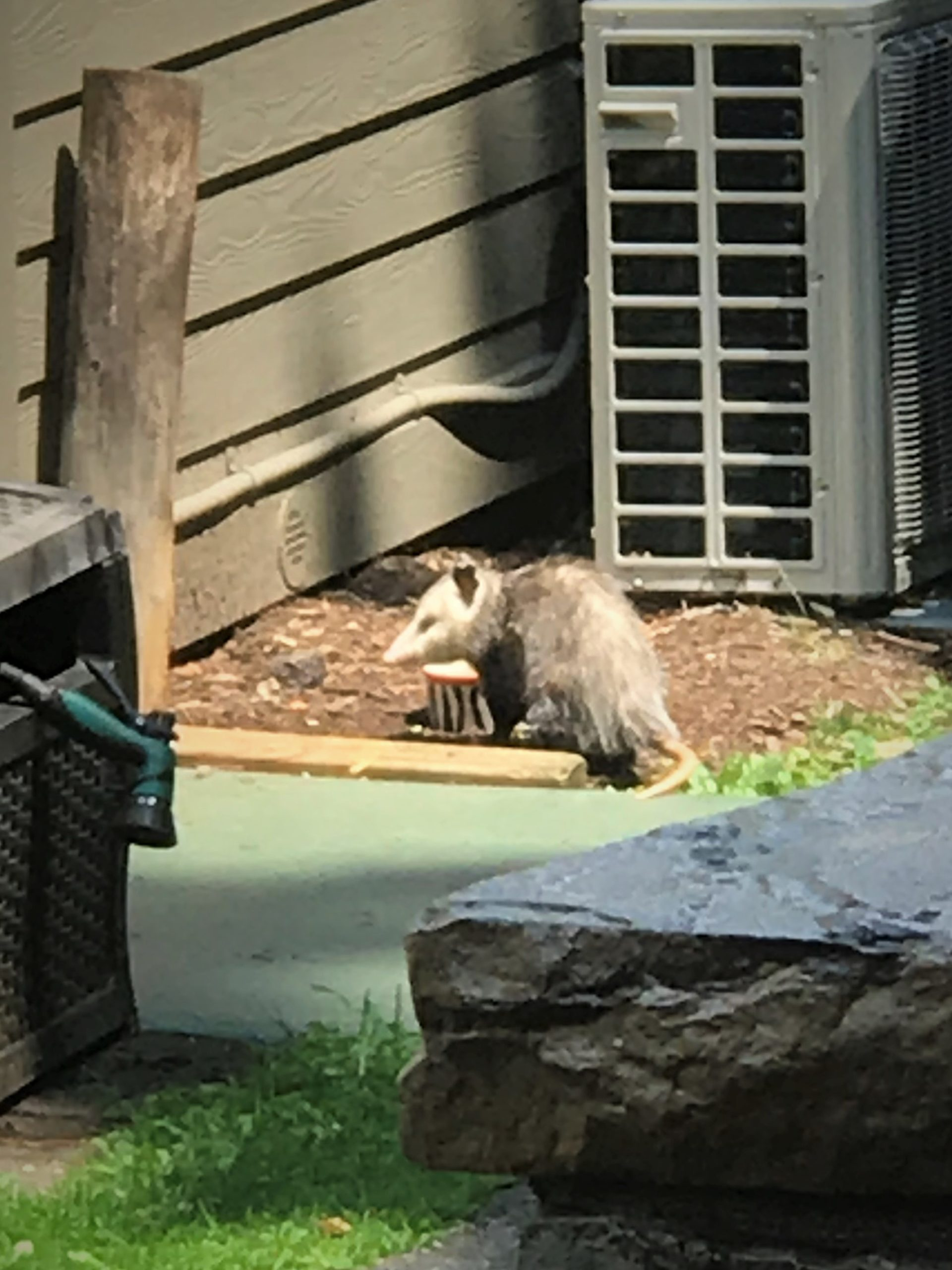 Polly the grey possum eating food from the pet bowls by thre kitchen door