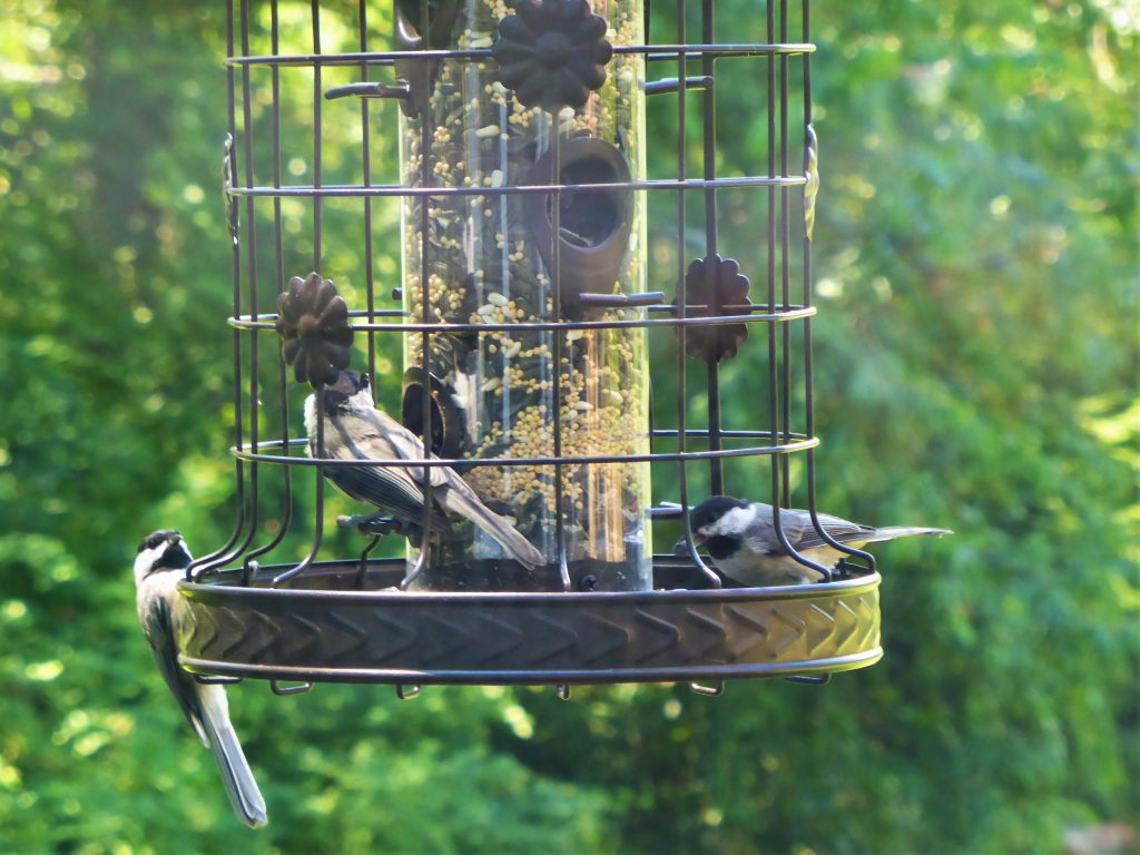 Return of the chickadees